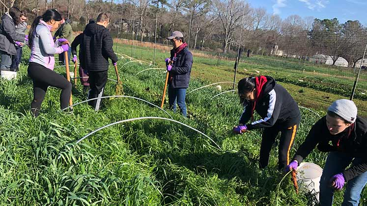 Volunteers glean vegetables from the Oxford Organic Farm.